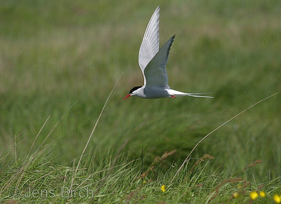 Arctic tern (Sterna paradisaea) approaching its nest in the colony at Höfd in souithern Iceland.  Copyright Jens Birch
