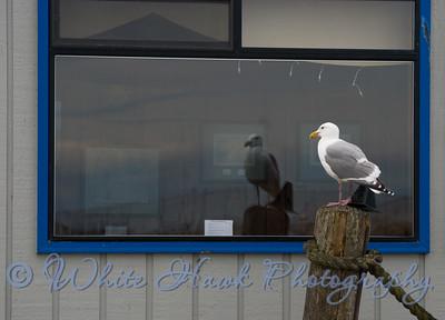 Seagull peering in window of Three Crabs restaurant in Sequim.