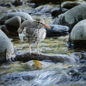 2016-05-06 - Spotted Sandpiper