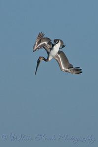 Pelican in flight, at Dana Point Harbor, CA