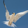 Least tern up close