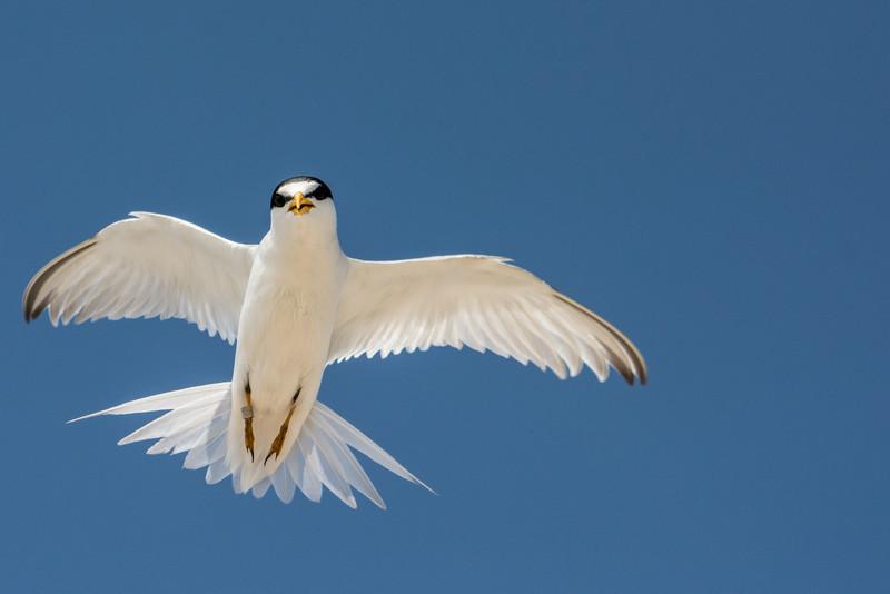 least tern up close