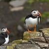 תוכי-ים אטלנטי<br /> Puffin<br /> Isle of May