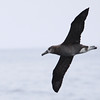 Black-footed Albatross_MontereyCo_CA_28Sept2012-6829