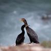 Double-crested Cormorant_VenCo_CA_21Aug2012-6253
