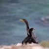 Double-crested Cormorant_VenCo_CA_21Aug2012-6264