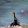 Double-crested Cormorant_VenCo_CA_21Aug2012-6259