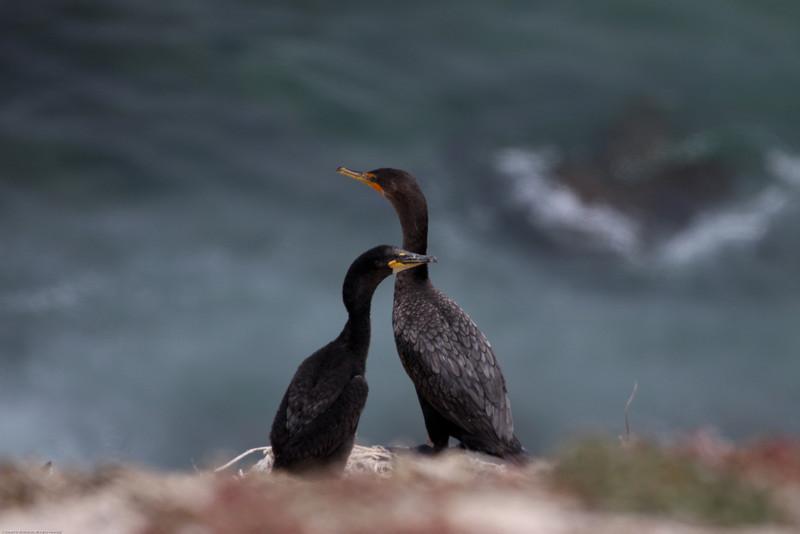 Double-crested Cormorant_VenCo_CA_21Aug2012-6248