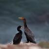 Double-crested Cormorant_VenCo_CA_21Aug2012-6252