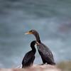 Double-crested Cormorant_VenCo_CA_21Aug2012-6256
