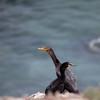Double-crested Cormorant_VenCo_CA_21Aug2012-6261