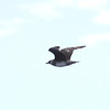 Parasitic Jaeger_SanDiegoCo_CA_06Oct2012-7460