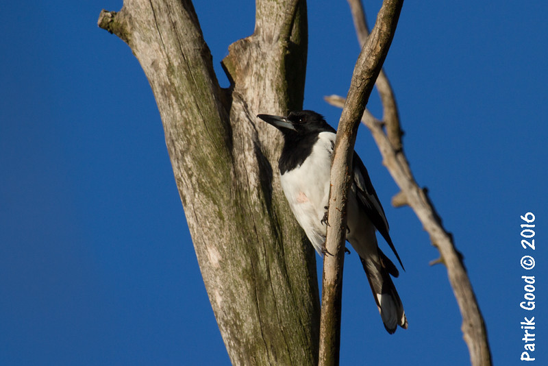 Another Pied Butcherbird from Sandy Camp Road. This naked chested one might be fine.