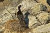 Evening shadow's . nesting Pelagic Cormorant .
