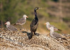 Pelagic cormorant sharing rock with some Heermann's Gulls.