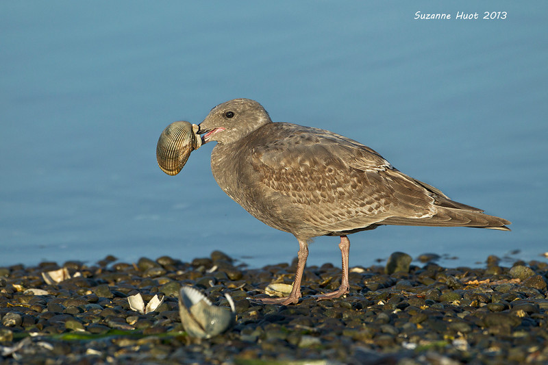 Juvenile Gull with clam.