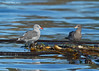 Adult and juvenile Heermann's Gull at rest on floating Bull Kelp in the middle of the Salish sea.