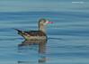 Juvenile Heermann's Gull