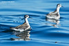 Red-necked Phalaropes  gathering in readiness for their fall migration south..