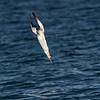 Australasian Gannet diving (Morus serrator)