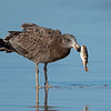 Juvenile Pacific Gull (Larus pacificus)