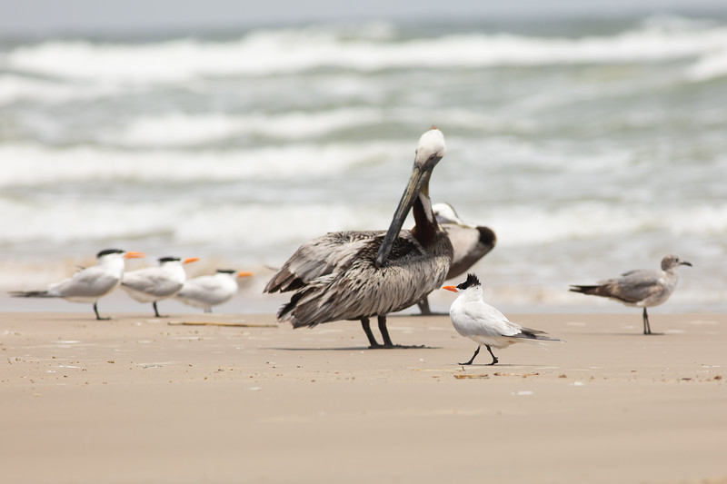 Royal Terns and Brown Pelican