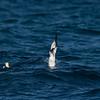 Australasian Gannet plunge diving (Morus serrator)