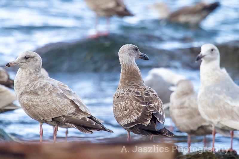 Herring Gull and Western Gull