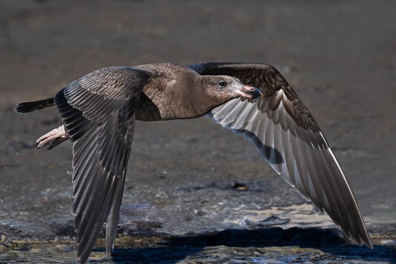 ImmaturePacific Gull (Larus pacificus)