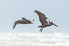 Brown Pelicans