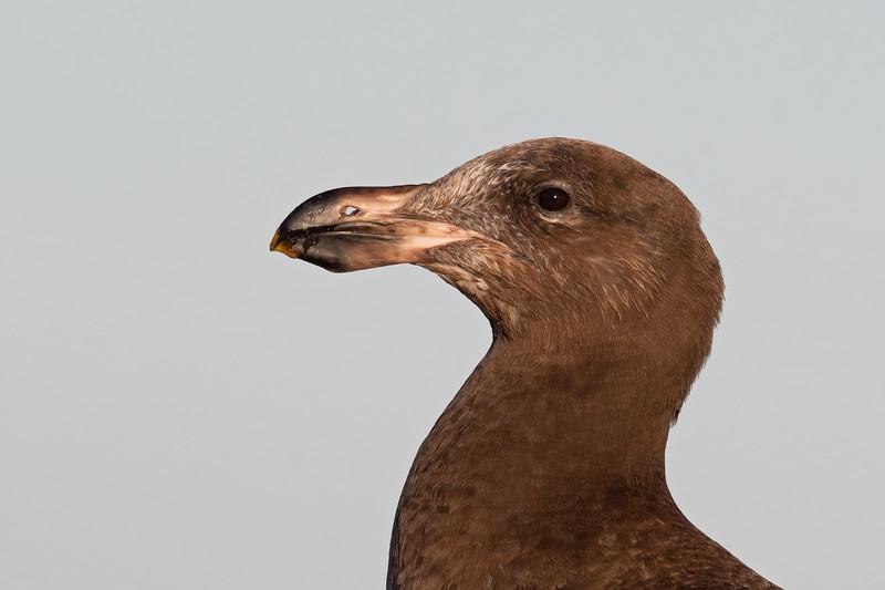 Immature Pacific Gull (Larus pacificus)