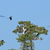 Magnificent Frigatebirds nesting