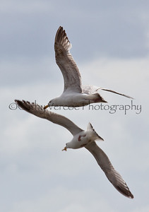 Pair of seagulls