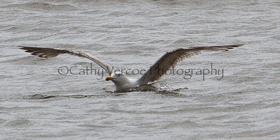 Seagull prepares to take off from the water