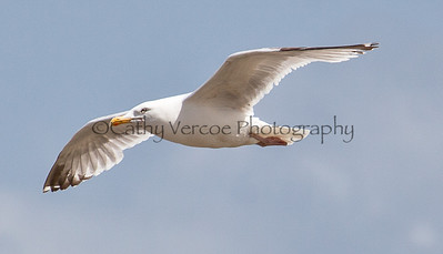A seagull glides on the wind