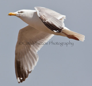 Seagull  flying across the sky