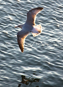 A mollyhawk seagull glides over the water