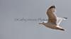 Seagull flies away