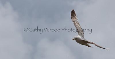 Seagull glides