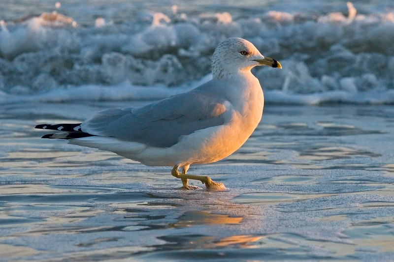 Monday 1/8/2007 ring billed gull at sunset