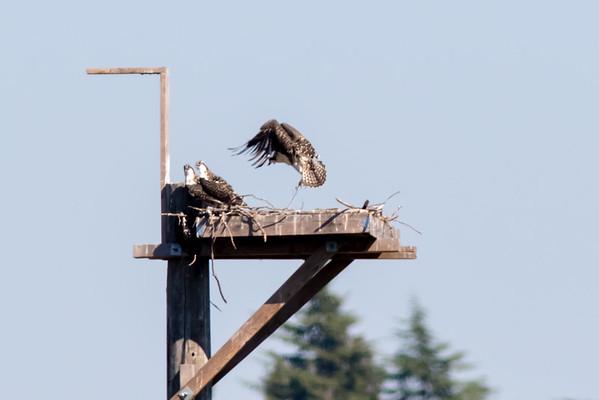 Seattle Osprey
