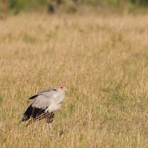 Secretary Bird - Serengeti National Park, Tanzania