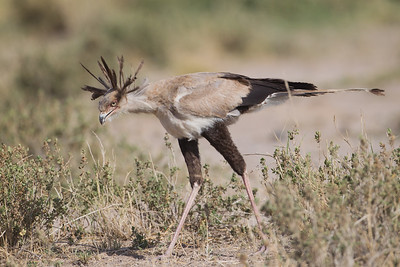 Secretary Bird Hunting - Amboseli National Park, Kenya