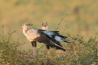 Secretary Birds on nest - Serengeti National Park, Tanzania