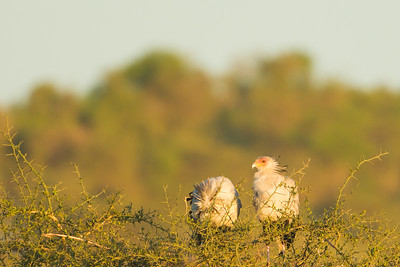 Secretary Birds - Serengeti National Park, Tanzania