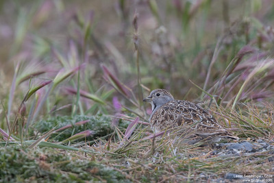 Least Seedsnipe - Chile