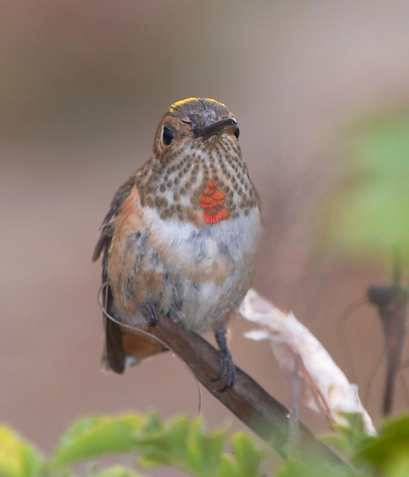Selasphorus Hummingbird (Rufous/Allens)