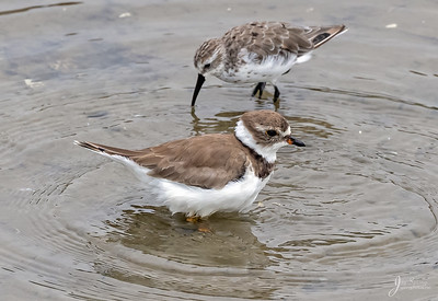 Semipalmated Plover and Western Sandpiper
