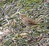 9/8/06 - Winsegansett -- Savannah Sparrow