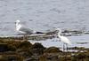 9/8/06 - Winsegansett -- Herring Gull and Snowy Egret